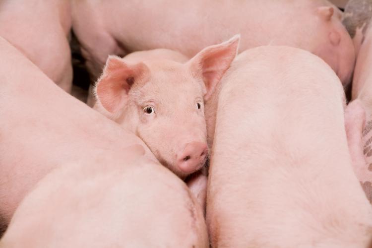 farm facts: pork