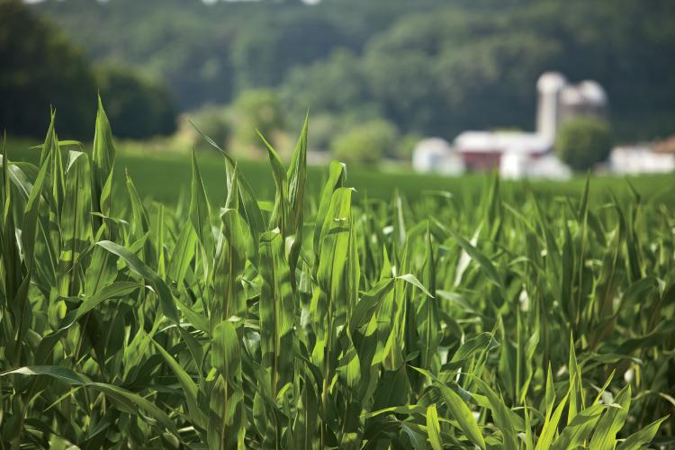 Cornfield - GMO Questions Answered