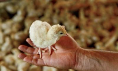 Baby turkey poult