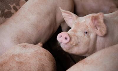 NC pig farmers