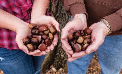 High Rock Farm chestnuts