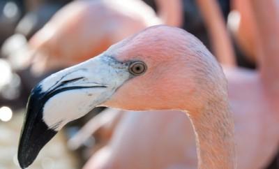 flamingo at sylvan heights bird park